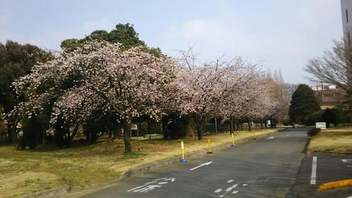 1_ookannzakura1